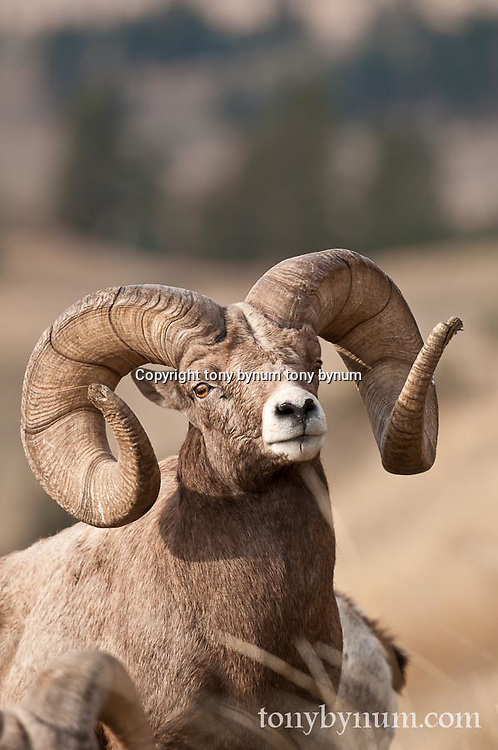 mature, trophy bighorn sheep ram wild rocky mountain big horn sheep