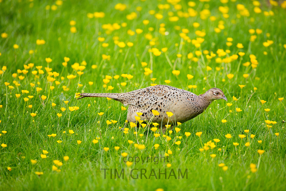 Female hen pheasant, Phasianus colchicus,  in a field of buttercups, UK