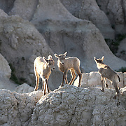 Bighorn sheep ewes, Ovis canadensis, and lambs feed and run on the Badlands National Park in southwestern South Dakota. The park protects 242,756 acres of sharply eroded buttes, pinnacles, and spires.   Photography by Jose More