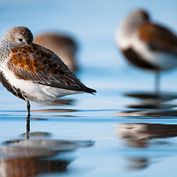 Dunlin Sandpiper, Orca Inlet near Prince William Sound, Alaska