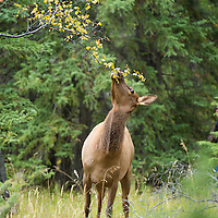 cow elk stretched out neck eating leaf's off tree branch