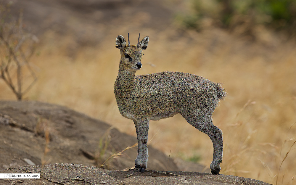 Klipspringer on the rocks, Northern Serengeti