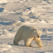 A large male polar bear walking along the shores of Hudson Bay. Manitoba, Canada