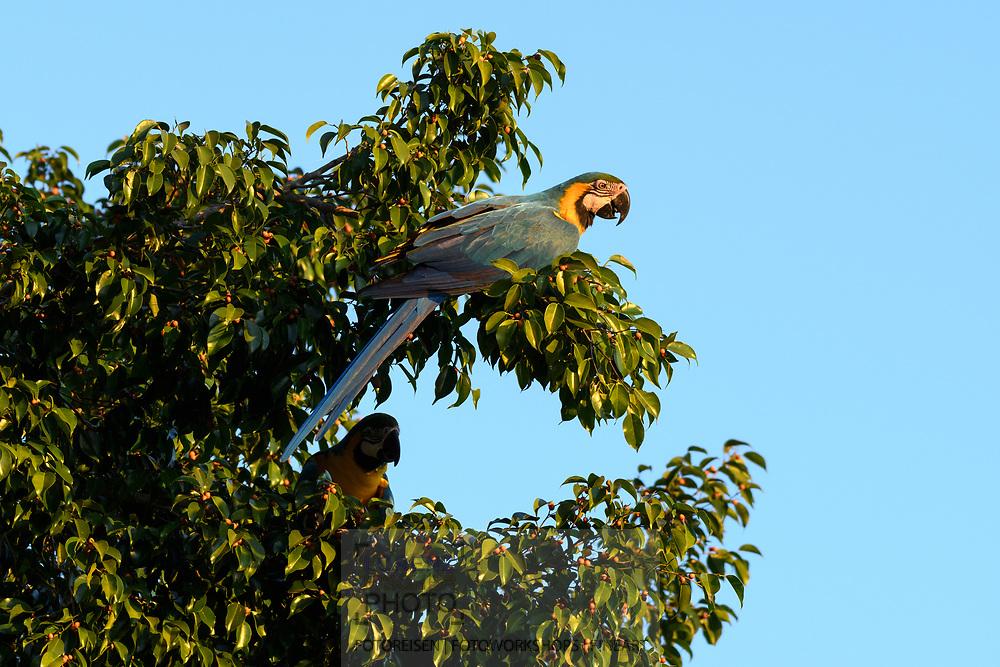 A blue-and-yellow macaw (Ara ararauna) in the Pantanal, Mato Grosso do Sul, Brazil