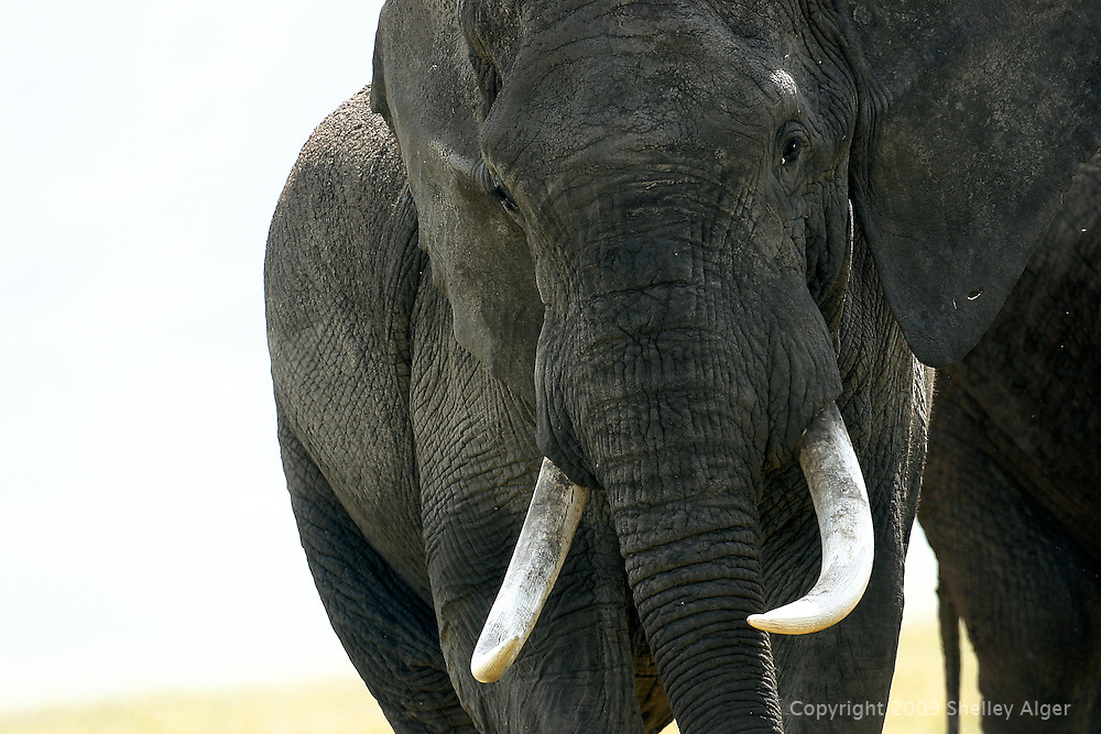 Male African elephant close up