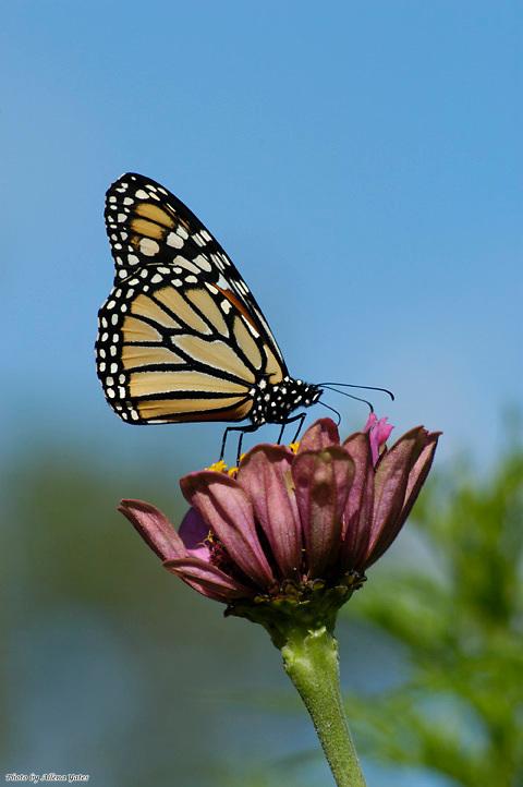 Monarch, Danaus plexippus, sips nectar from Zinnia, Zinnia elegans in<br /> Jasper County, Missouri