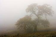 A California Oak in the fog on a California coastal hillside A California Oak in the fog on a California coastal hillside