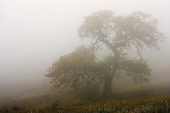 A California Oak in the fog on a California coastal hillside A California Oak in the fog on a California coastal hillside