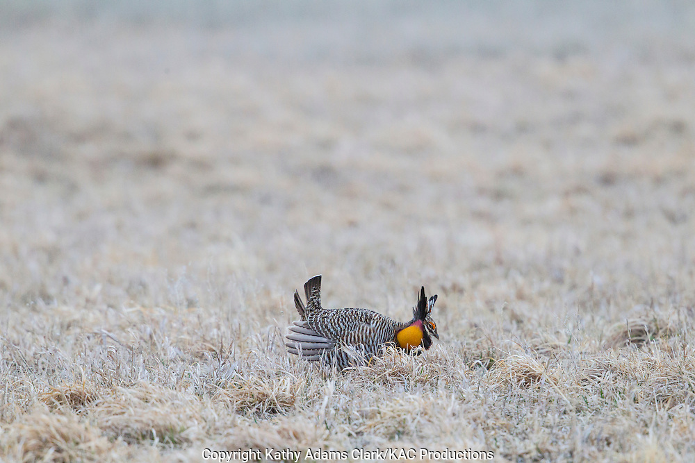 Greater prairie-chicken, Tympanuchus cupido, booming grounds, Calamus Outfitters near Burwell, Nebraska