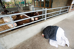 "© under license to London News pictures.06/11/2010.  A man praying in front of cows at Gokul Centre for Cow Protection and Working Oxen in Aldenham near Watford, Hertfordshire . The centre, which was originally donated by George Harrison, is unique in the western world producing ""Ahimsa Milk"" at a cost of £3 per litre without harm to any living being. The Centre is part of Bhaktivedanta Manor, a Hindu place of worship."