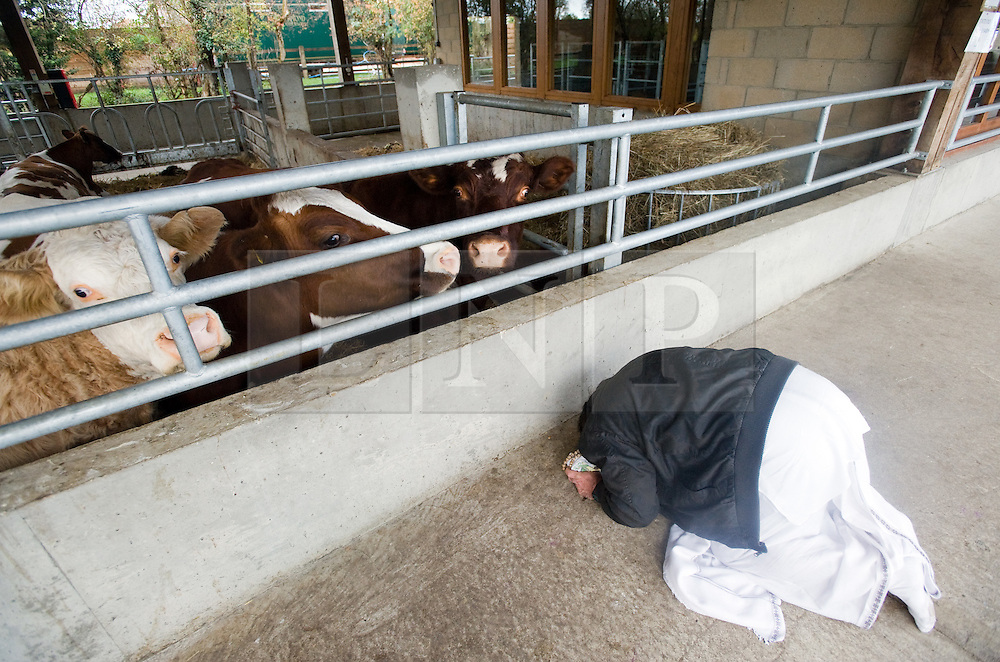 """© under license to London News pictures.06/11/2010.  A man praying in front of cows at Gokul Centre for Cow Protection and Working Oxen in Aldenham near Watford, Hertfordshire . The centre, which was originally donated by George Harrison, is unique in the western world producing """"Ahimsa Milk"""" at a cost of £3 per litre without harm to any living being. The Centre is part of Bhaktivedanta Manor, a Hindu place of worship."""