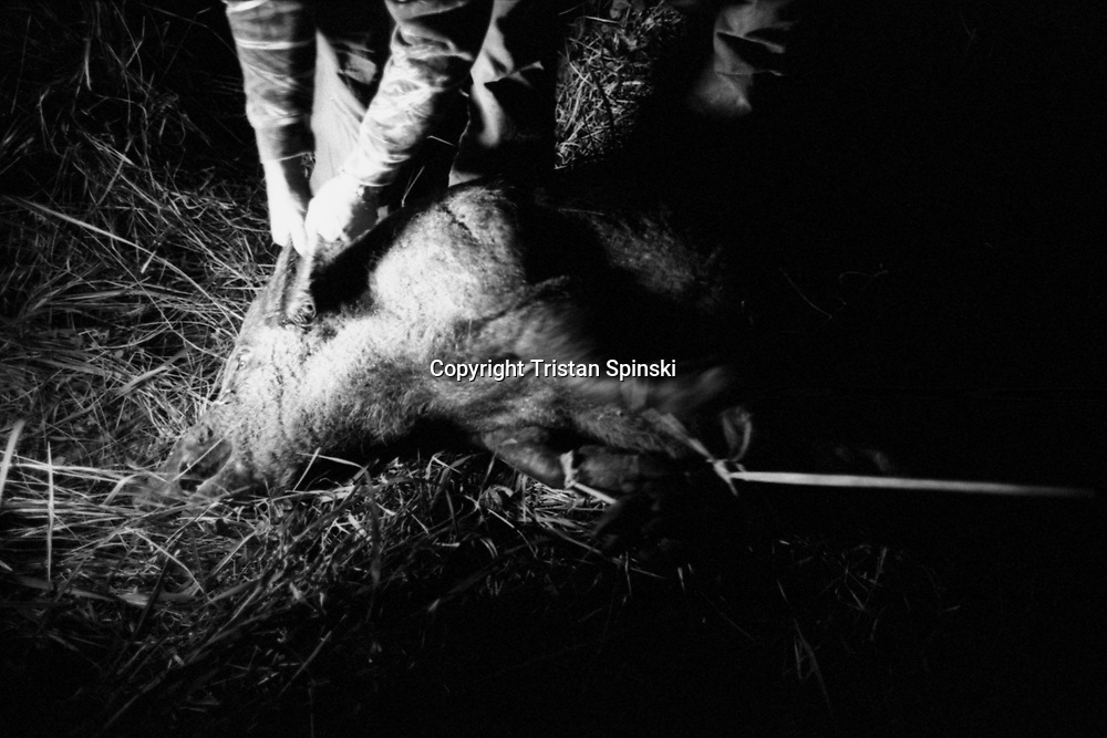 Wild hog hunt, Fort Pierce, Florida, 2012.