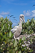 A young brown pelican, the Louisiana state bird recently taken off the endangered species list, on Cat Island, a barrier island in Barrataria Bay in Plaquimens Parish, Louisiana. The barrier islands in the Gulf of Mexico are threaten by coastal erosion that was sped up since the BP oil spill which killed off much of the grass and mangrove trees that hold the islands together. Plaquimens Parish started it's own coastal restoration project for Cat Island, a bird rookery for the pelican ahead of the  Restore the Coast act for fear their would be too little of the island left to save.
