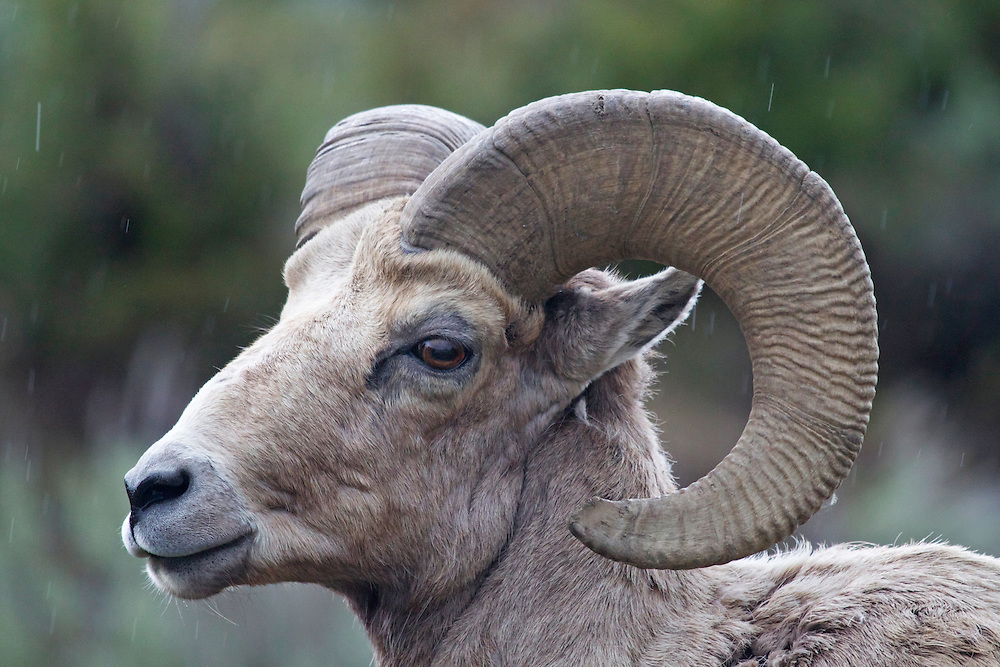 Bighorn ram in the rain. Northern Yellowstone.