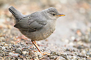 American Dipper in Yellowstone National Park, Wyoming.