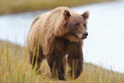 North American brown bear / coastal grizzly bear (Ursus arctos horribilis) sow walks across a grassy field, Lake Clark National Park, Alaska, United States of America
