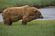 Grizzly bear itching its head, Katmai National Park, Alaska