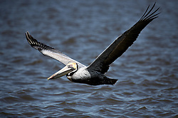 04 March 2012. Lafitte, Louisiana USA. .A brown pelican in the freshwater bayous west of Lafitte .in south Louisiana. Part of the settlement BP is claimed to have reached includes significant long term studies of the region to assess the full extent of the 2010 Macondo Well disaster. .Photo Credit; Charlie Varley