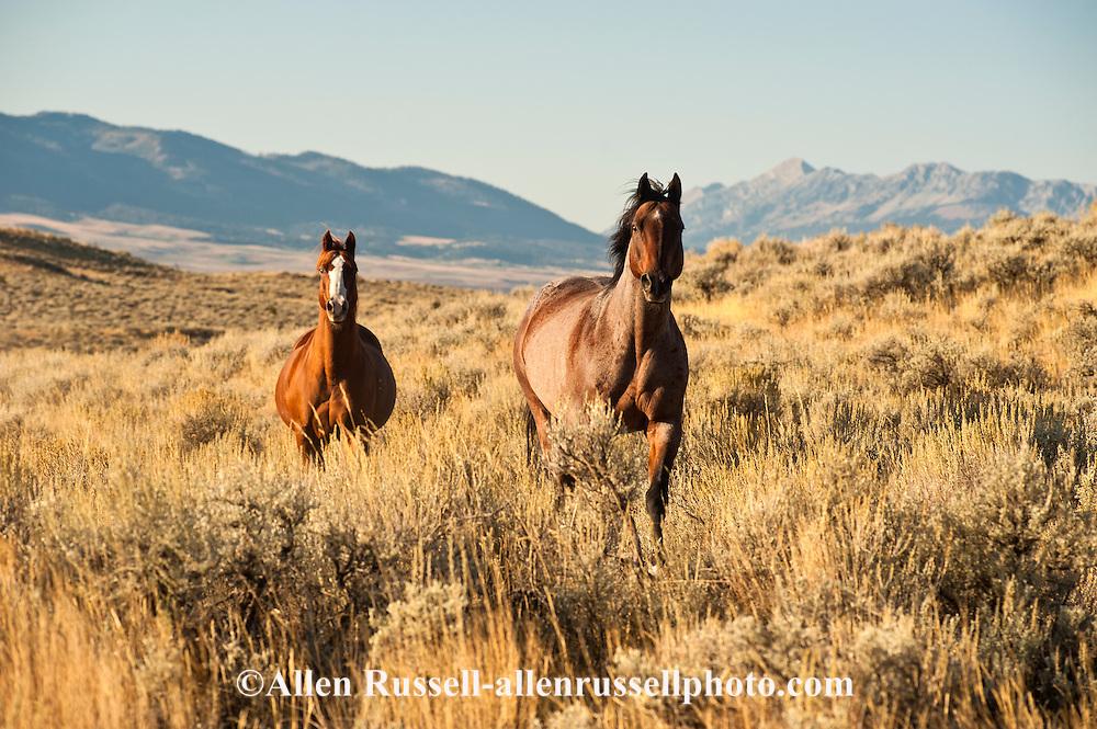 Quarter Horses running, sagebrush,  Bridger Mountains.PROPERTY RELEASED