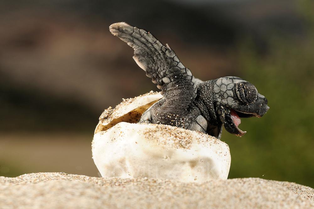 The hatchlings of the Loggerhead Sea Turtle (Caretta caretta) struggle hard to hatch out of their egg shells, emerge from the sand and find their direction once they reached the surface. |Über 50 Tage hat der warme Sand das Ei ausgebrütet, nun kämpft sich diese junge Unechte Karettschildkröte (Caretta caretta) aus der Schale heraus. Sehr schnell macht sich das kleine Tier dann auf den gefährlichen Weg zum Wasser, wobei ihm die Helligkeit des Horizonts über dem Meer Orientierung gibt. (Türkei)