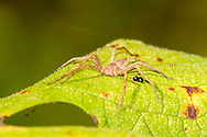 Nursery Web Spider (Pisaurina mira)<br /> United States: North Carolina: Chatham Co.<br /> Jordan Lake Site Observation Tower<br /> off Marthas Chapel Rd.; N of Wilsonville<br /> 15-Sep-2017<br /> J.C. Abbott #2987