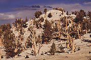 Bristlecone Pines in White Mountains, California. Route 395: Eastern Sierra Nevada Mountains of California.