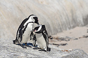Jackass, Black footed penguin or African Penguin (Spheniscus demersus) group on rocks, South Africa in February