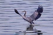 A great blue heron (Ardea herodias) lands in the shallow water of Hood Canal near Seabeck, Washington at low tide. The great blue heron subspecies Ardea herodias fannini lives year-round in and around Puget Sound, feeding in shallow waters and foraging in eelgrass meadows.