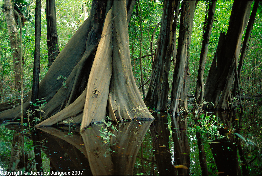 Buttresses of tree in swamp forest (mata de igapó) in Mamirauá reserve in Amazon region, Brazil