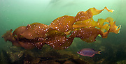 A Striped Perch, Embiotoca lateralis, hides from the current behind bull kelp, Nereocystis luetkeana, in the shallows offshore Nanaimo, British Columbia, Canada.