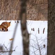 Ezo red fox (Vulpes vulpes schrencki), called Kita Kitsune in Japanese, marking territory.
