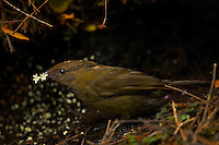 Male Huon Macgregor's Gardener Bowerbird (Amblyornis macgregoriae) at bower.