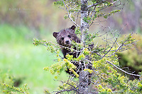 Young of the year grizzly bear cub in the Canadian Rockies