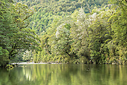 Beech trees along the banks of the Clinton River, Milford Track