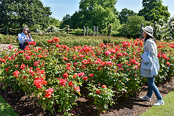 © Licensed to London News Pictures. 14/06/2017. London, UK. Tourists enjoy looking at the floral displays in Regent's Park in fine weather.  Temperatures are forecast to be even warmer in the capital in the next few days.   Photo credit : Stephen Chung/LNP