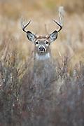 White-tailed Buck Portrait, Western Montana