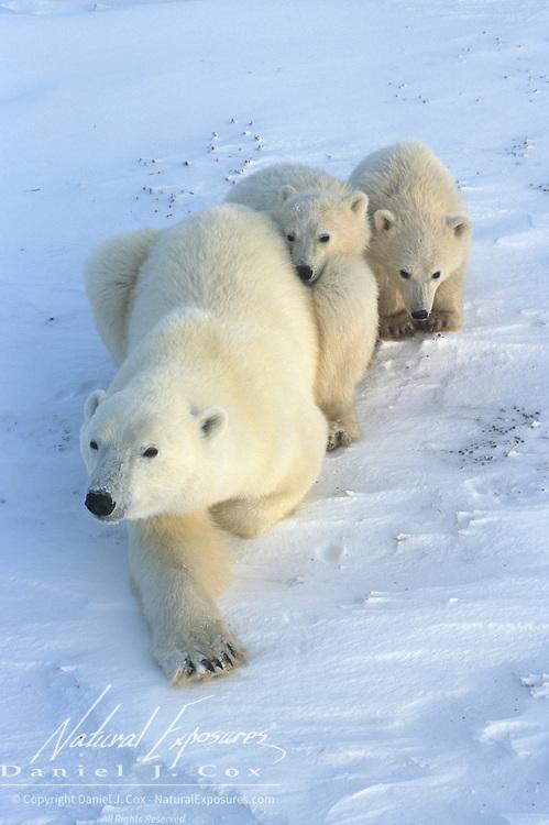 Polar bear (Ursus maritimus) mother and cubs. Churchill, Manitoba, Canada