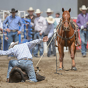 The Falkland Stampede- Tie down roping.