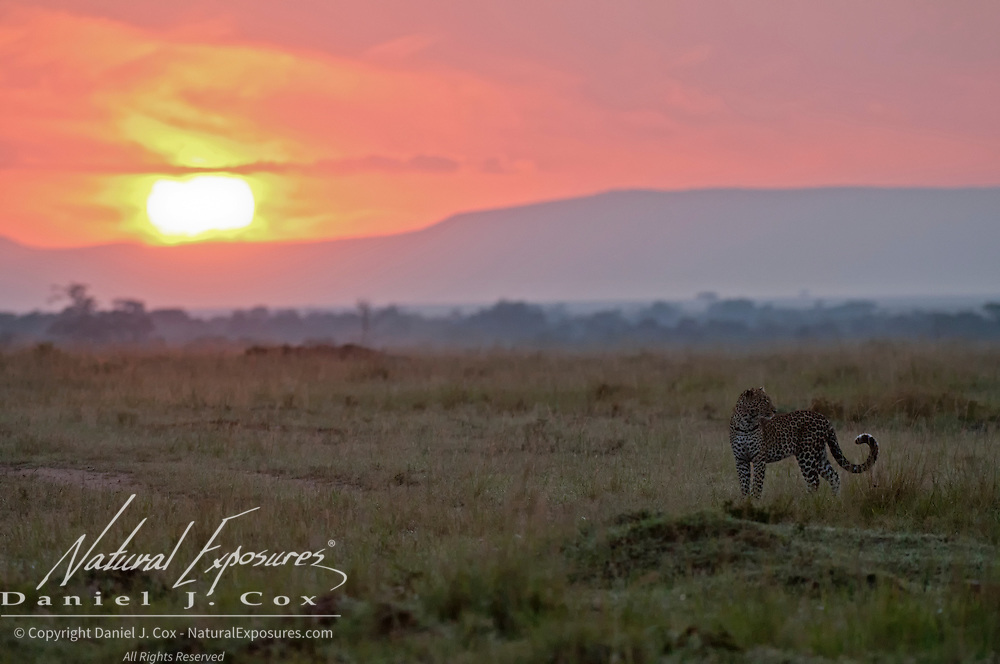 Leopard walking in the early morning, Masa Mara National Reserve, Kenya, Africa