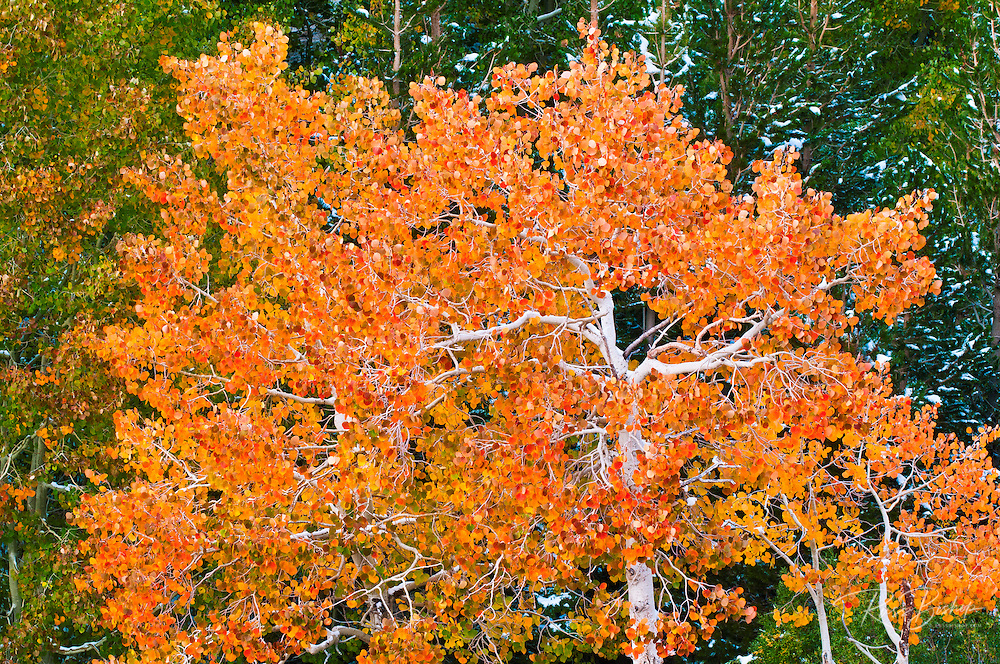 Fall aspen along Bishop Creek, Inyo National Forest, Sierra Nevada Mountains, California USA