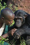 Chimpanzee<br /> Pan troglodytes<br /> Fred Nizeyimana (Veterinarian) grooming rescued chimpanzee<br /> Ngamba Island Chimpanzee Sanctuary<br /> *Model release available - release # MR_006<br /> *Captive