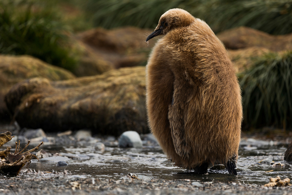 A king penguin chick with full plumage waddles on Thursday, Feb. 1, 2018 in Gold Harbor, South Georgia. (Photo by Ric Tapia)