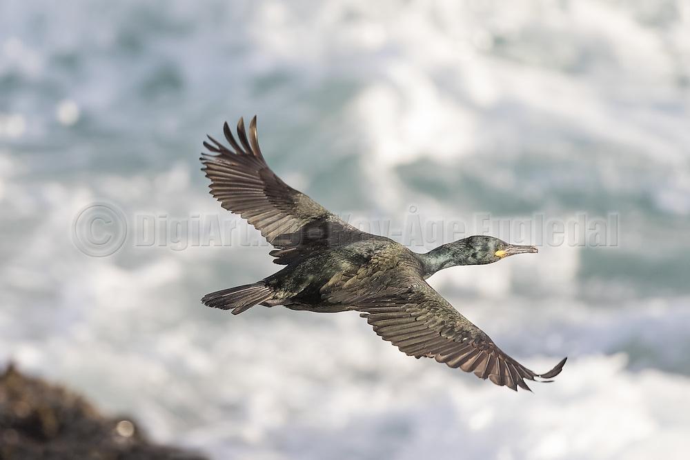 Uncropped picture of Cormorant in flight, with waves in the background | Ubeskjert bilde av Skarv i flukt, med bølger i bakgrunnen.