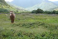 Horses roadside en route to Hanelei, Kauaii