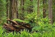 Ferns and redwood trees; Cal Barrel Road, Prairie Creek Redwoods State Park, California.