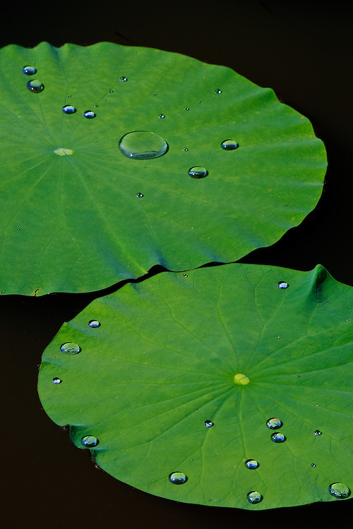 "Close-up of water droplets on two floating lotus leaves (Nelumbo nucifera), Kenilworth Park and Aquatic Gardens, Washington, DC.  Due to the superhydrophobic structure of the lotus leaf (including micro- and nanostructures plus hydrophobic waxes) the force of cohesion between the water molecules is greater than the adhesion forces to the leaf, known as the ""lotus effect"".  Biomimicry has led to many commercial applications."