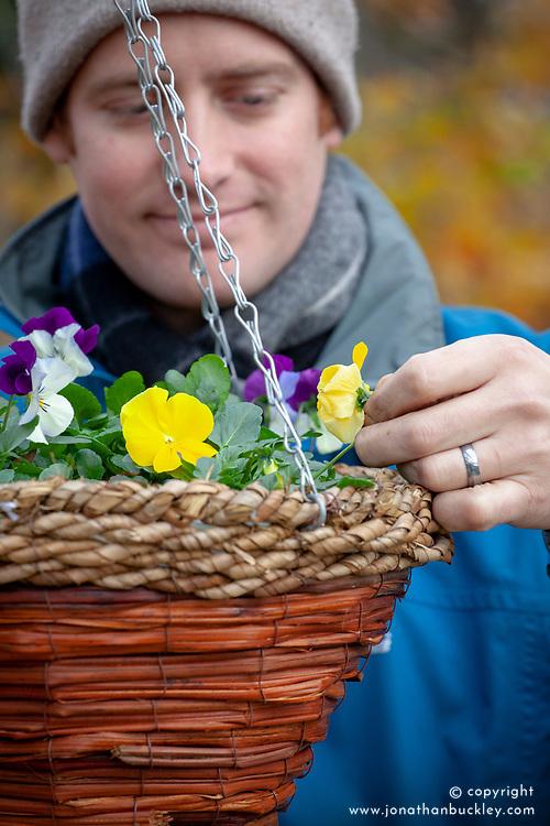 Deadheading winter flowering pansies in a hanging basket