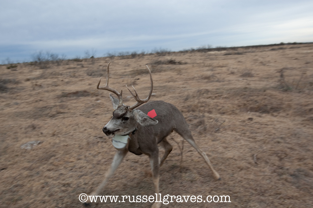RESEARCHERS RELEASING A RADIO COLLARED MULE DEER