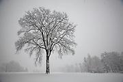 Elms are deciduous and semi-deciduous trees comprising the genus Ulmus in the plant family Ulmaceae.