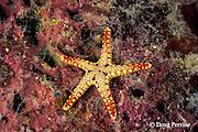 sea star, Fromia monilis, Christine's Reef, Kimbe Bay, New Britain, Papua New Guinea ( Bismarck Sea )
